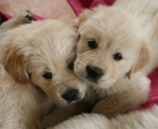 Our Golden Retriever puppies by JulesVandermaat