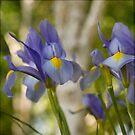 Wild Iris by Lynn Starner