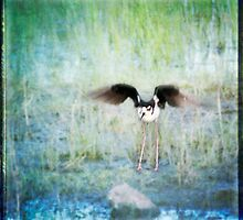 Black-necked Stilt by Lynn Starner