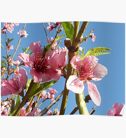 Blossom Flowers Poster