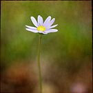 Margerite Daisy by Lynn Starner