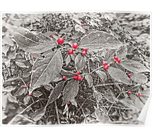 Bush with Berries in Backyard, Black and White, Color Poster