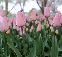 Soft Pink Tulips by yolanda
