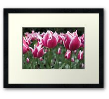Candy Stripe Tulips Framed Print