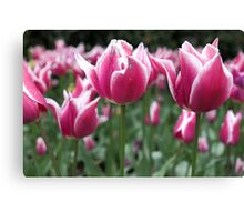 Candy Stripe Tulips Canvas Print