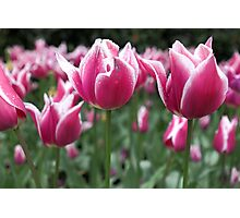 Candy Stripe Tulips Photographic Print