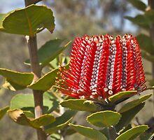Scarlett Banksia (banksia coccinaea) by pennyswork