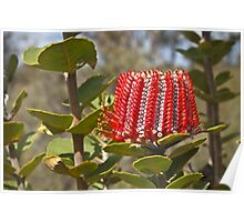 Scarlett Banksia (banksia coccinaea) Poster