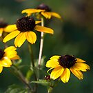 Rudbeckia by Karen Havenaar