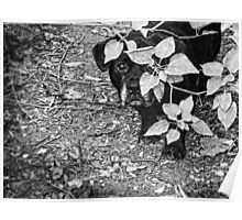 Black Dog Peeking Around a Bush, Black and White Poster