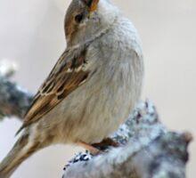 House sparrow poses for the camera Sticker