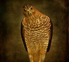 Coopers Hawk by Sandy Keeton