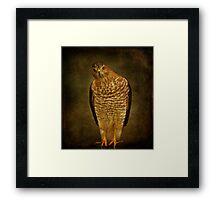 Coopers Hawk Framed Print