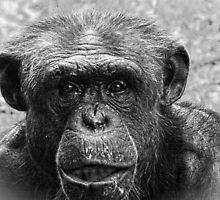 Chimpanzee Closeup, Black and White by PhotosByTrish