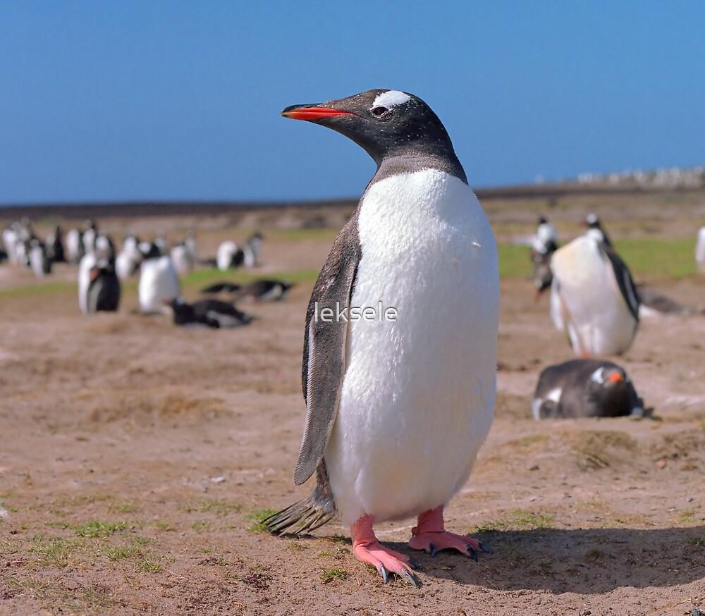 Gentoo penguin by leksele