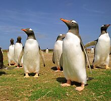 Colony gentoo penguins by leksele