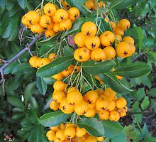 Berries in Autumn by orko