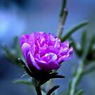 Portulaca In The Moonlight by TheCandle
