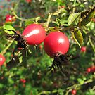 Rosehips in The Sun by orko