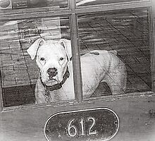 White Boxer Looking Out Red Door, Black and White by PhotosByTrish