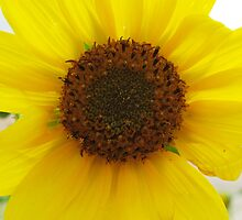 The Sunflower and the BumbleBee Series (Macro) by johntbell