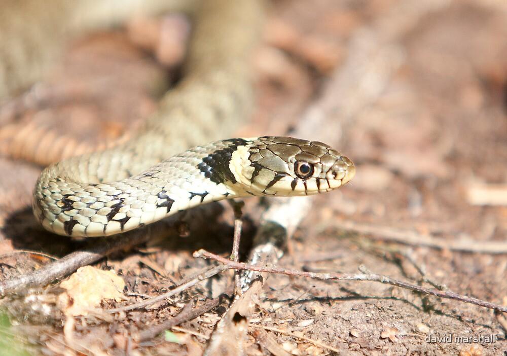 Grass snake by david marshall