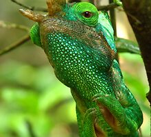 Parson's chameleon by jmccabephoto
