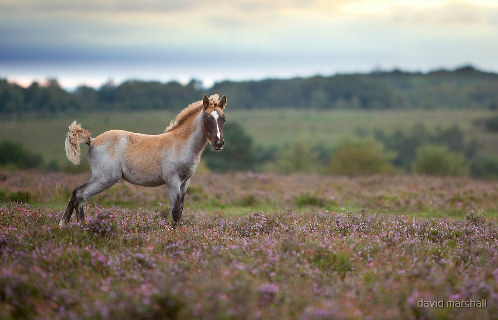 Foal on the heath by david marshall