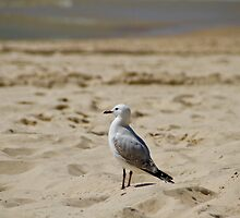 Seagull by benjilach