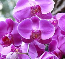 Pink Orchids by jayprime