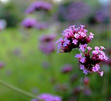 Purpletop Verbena by Stephen J  Dowdell