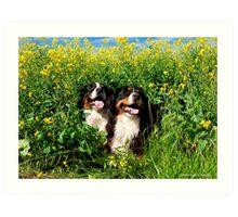 Bernese Mountian Dogs Art Print