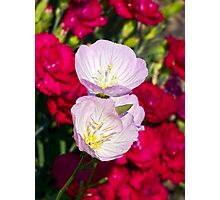 Musk Mallow Flowers backed by Carnations Photographic Print
