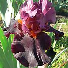 "Bearded Iris - ""Fiery Temper"" by louisegreen"