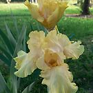 "Bearded Iris - ""Lanai"" by louisegreen"
