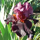 """Fiery Temper"" - Bearded Iris by louisegreen"