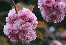 Pink Pom Poms by yolanda