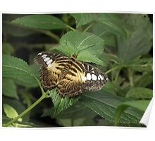 dull butterfly  Poster