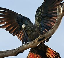 """""""Red Tailed Black Cockatoo"""" by Heather Thorning"""