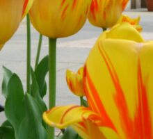 Tiger Tulips Sticker