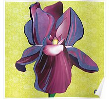 Iris hybrida Poster