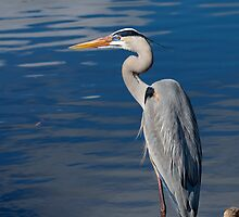 Great blue heron, ardea herodias by Arto Hakola