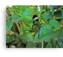 A Glasswing Butterfly Canvas Print