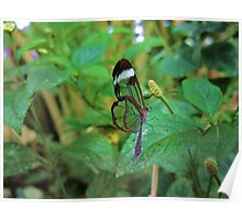 A Glasswing Butterfly Poster