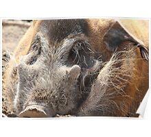 Let Sleeping Hogs Lie. Poster