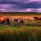 Wild Horses of the Beacons by spredwood