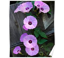 morning glories two Poster