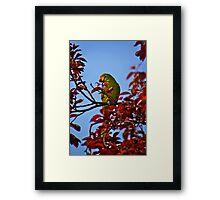 Parakeet in Sunbury Walled Garden Framed Print