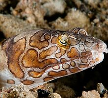 Napoleon Snake Eel, Wakatobi National Park, Indonesia by Erik Schlogl
