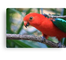 Mountain or King Parrot - Male Canvas Print